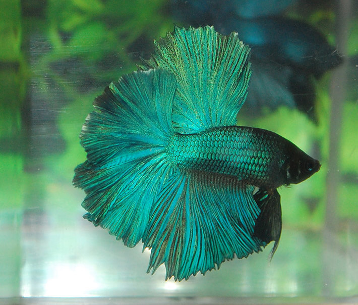 Recommended tips cool facts about betta fish for Betta fish habitat