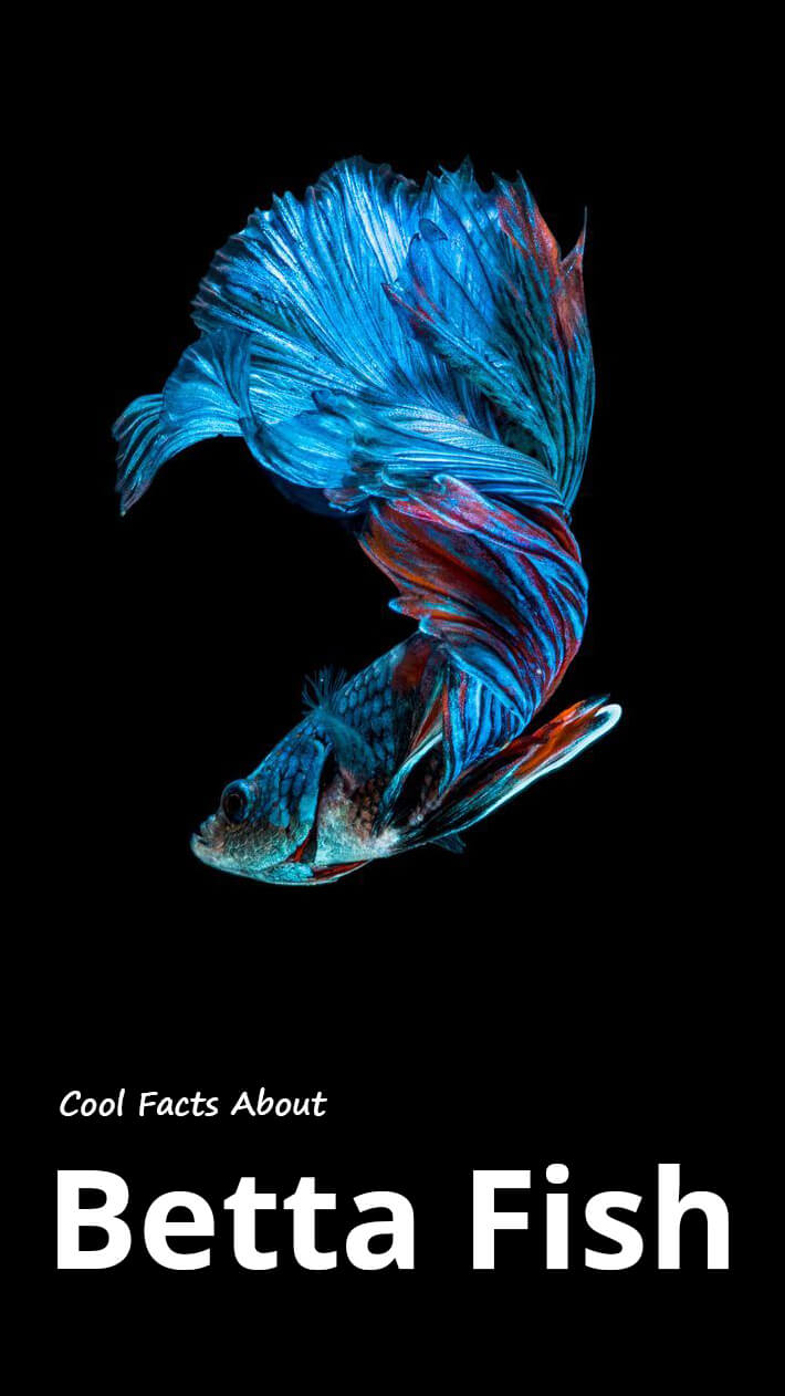 Recommended tips cool facts about betta fish recommended for Betta fish names