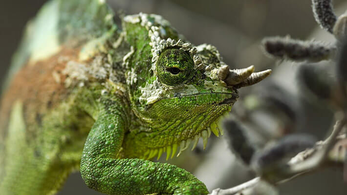 Four-Horned Chameleon