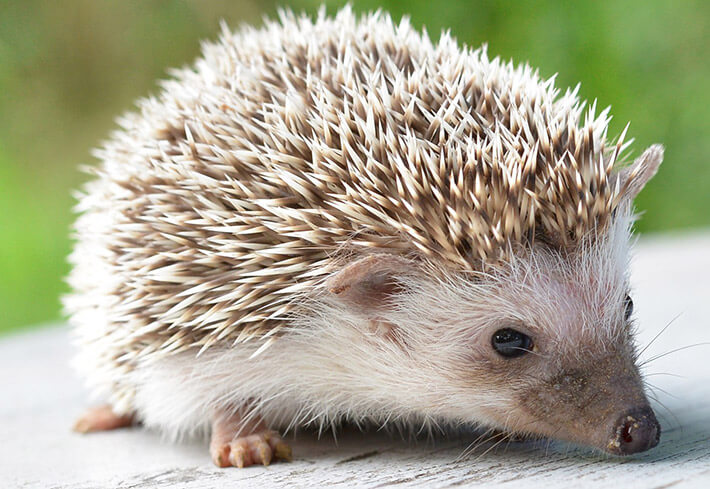 Hedgehogs as Pets