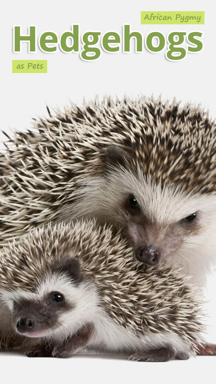 African Pygmy Hedgehogs as Pets