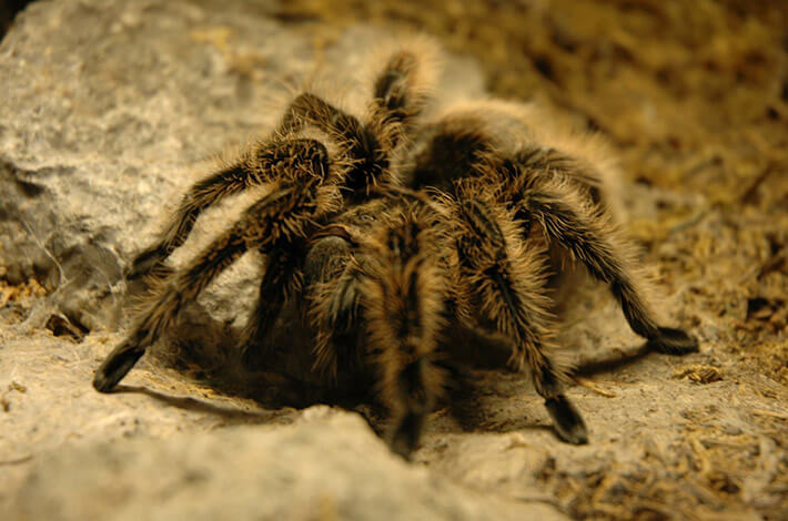Fascinating Facts About Tarantulas