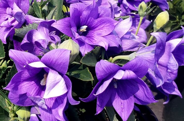 Balloon Flower Plant