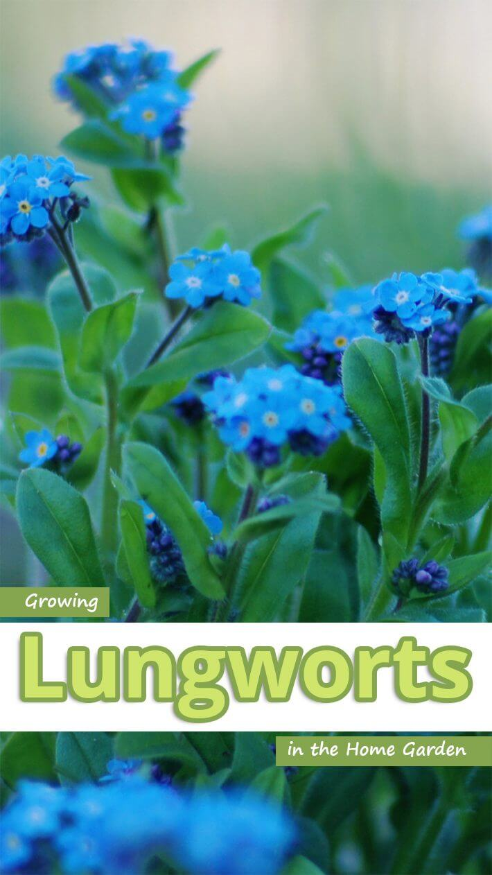 Growing Lungworts in the Home Garden