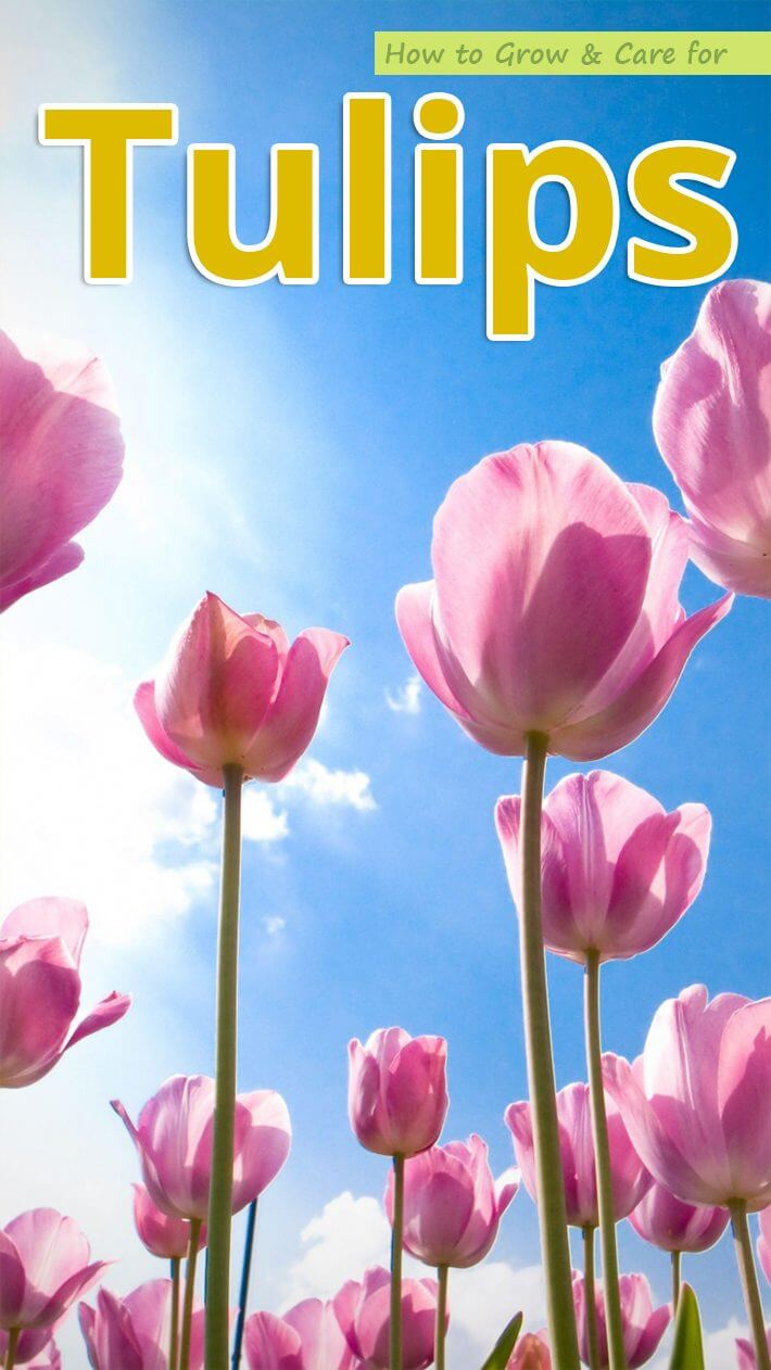 How to Grow & Care for Tulips