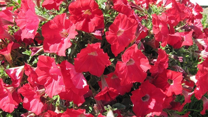 How To Grow Petunias Recommended Tips
