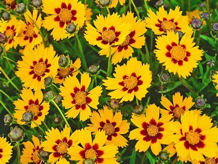 How to Grow Sunny Coreopsis Plants