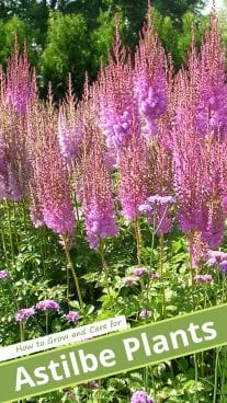 How to Grow and Care for Astilbe Plants