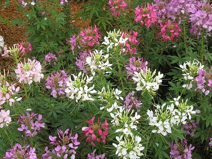 Plants Profile for Cleome Flowers
