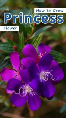 How to Grow Princess Flower